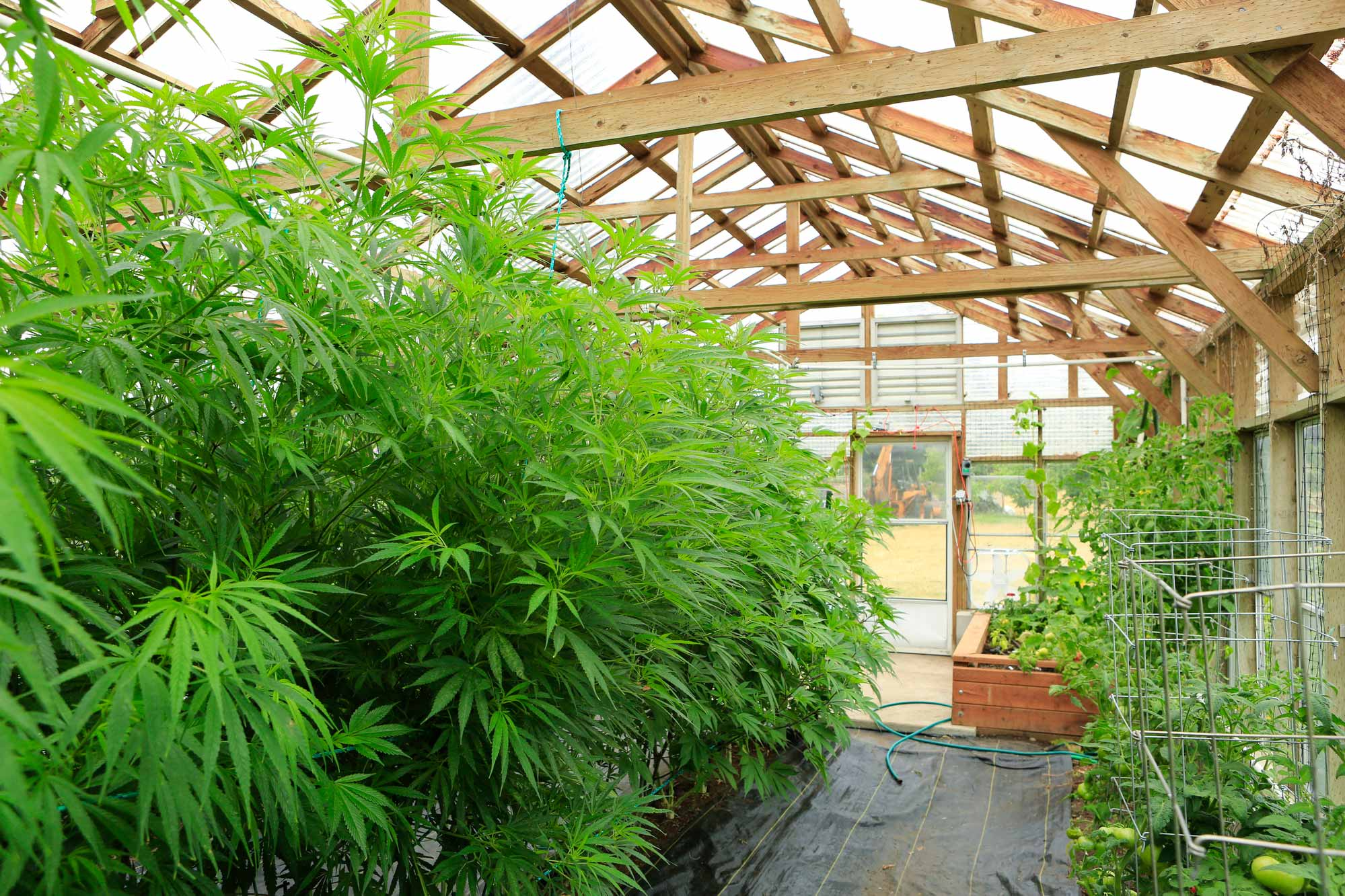 Canabis Grower 4